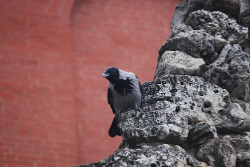Hooded Crow at the Kremlin