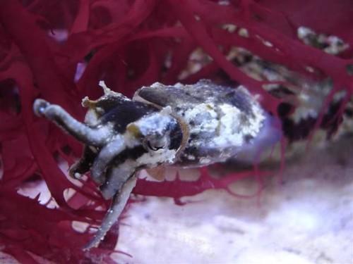 Sepia Bandensis