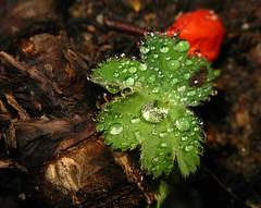 Tau auf Blatt (ziso) Tags: hamburg tau geranium blatt plantenunblomen tropfen