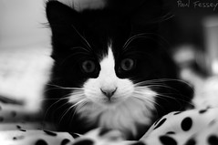 Oliver the kitty. (Paul Fessey) Tags: portrait blackandwhite cute animal cat paul photography 50mm nikon kitten oliver small kitty cuddle meow 18 d300 55m fessey omglawl