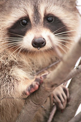 Wet Nose (peterkelly) Tags: cambridge baby cold tree digital nose paw young whiskers raccoon dripping rarecharitableresearchreserve northdumfries