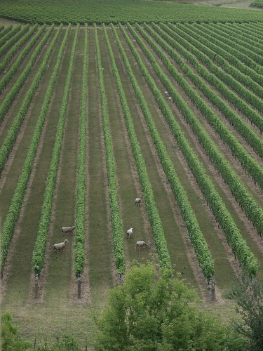 Sheep in the Vines.. Mission Estate
