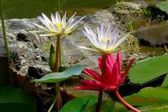 Colorido/Colorful (Altagracia Aristy) Tags: america amrica lotus dominicanrepublic lilac dominicana tropic caribbean nymphaea loto santodomingo waterlilly antilles caribe nenfar repblicadominicana ninfea trpico antillas quisqueya fujif40 liladeagua