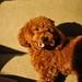 プードル:Toy poodle