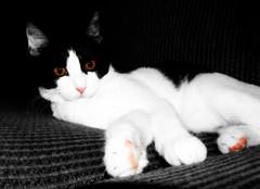 Bright Eye...Pink Feet.... (mightyquinninwky) Tags: cute cat geotagged eyes kitten fuzzy sweet kentucky couch onwhite lilgirl soe picnik wideawake selectivecolor onblack selectivecolour westernkentucky blueribbonwinner otw unioncountykentucky pinkpads passionphotography abigfave viewonblack shieldofexcellence commonwealthofkentucky morganfieldkentucky geo:lat=37693219 goldstaraward thebluegrassstate viewonwhite geo:lon=87905661 rubyphotographer flickrlovers jediphotographer lilangellildevil interuptednap bestofformyspacestation