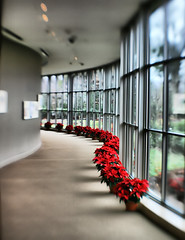 Poinsettias (` Toshio ') Tags: christmas windows red plants usa house holiday blur color history architecture lensbaby america festive landscape virginia hall washington colorful estate path poinsettia hallway walkway va historical poinsettias curve georgewashington mountvernon christmastime mtvernon selectivefocus visitorscenter toshio euphorbiapulcherrima superaplus lensbabycomposer