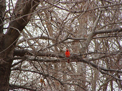 Treetop Cardinal (Brooks Morrow) Tags: winter red brown tree bird home december branch texas cardinal plano 2008