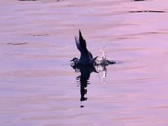 The Bird (A.al-Muzaini) Tags: am nikon abdullah d60 aplusphoto almuzaini