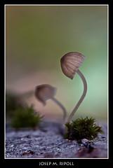 Mycena sp. (JM Ripoll) Tags: barcelona forest mushrooms spain bosque fungus funghi pilze wald svamp mycology pilz champignons setas fong bosc foresta cogumelos fungo bolets micologia mikologia onddo perretxikoak micología santceloni mycologie pilzkunde foraoise