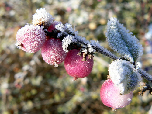 Berries in frost