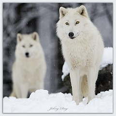 A Spirit and Her Wolf (Johny Day) Tags: wolf searchthebest lobo loup frontpage specanimal animalkingdomelite johnyday articwolf impressedbeauty johnyday fantasticwildlife explore2009 canon300mm14 canadianarcticwolf