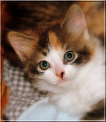 Grace (JK FARMS) Tags: orange pet white black closeup loving bigeyes amazing soft sweet calico littlegirl calicokitten bestofcats halfpinkandhalfblacknose pinkandblackkittynose kittengreeneyes