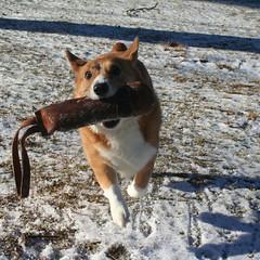 airborne corgi (ojamaa9design) Tags: winter dog pet snow corgi backyard fetch pembrokecorgi shelterrescue