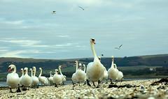 Forward March... (Dan Baillie) Tags: sky beach birds march scotland sand nikon pebbles swans portfolio animalplanet galloway muteswan stranraer the beaks dumfriesandgalloway puddock wigtownshire diamondclassphotographer danbaillie bailliephotographycouk bailliephotography wigtownshirephotographer dumfriesandgallowayphotography