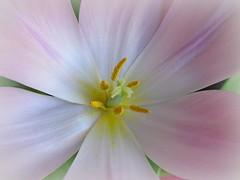 Give me Spring (dart5150) Tags: pink white flower macro cupcakes pastel tulip flowersmacroworld macroflowerlovers flickrflorescloseupmacros flickrsmasterpieces