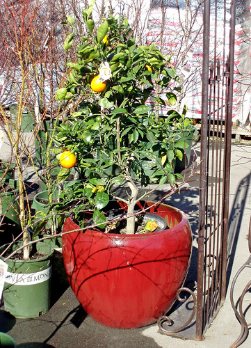 citrus planted in a container (pot)
