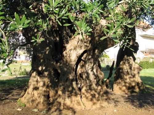 Old Olive Tree (5)