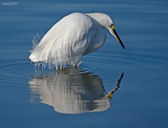 Snowy Reflection (raineys) Tags: bird snowyegret nature wildlife reflection raineys baylands calfiornia specanimal searchthebest onblue