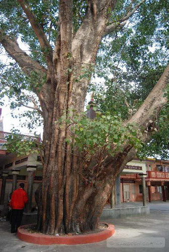 Pipal tree at Rishikesh inside a ashram