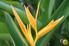 PEN-flo-032 copy (cric@ket) Tags: flower heliconiapsittacorum goldentorch hspathocircinata