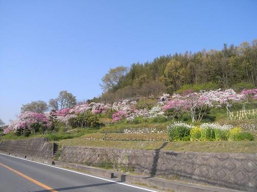 09-04-10【桜】@桜井市の道沿い-01