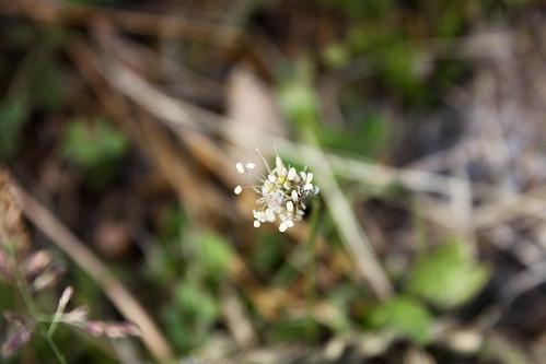 Gras-Blüte