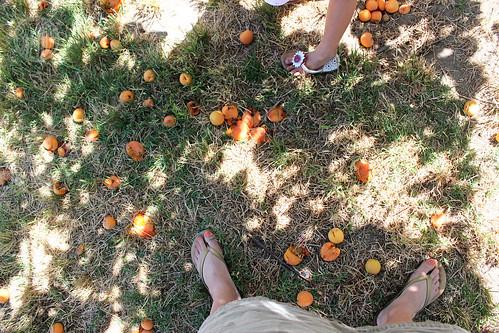 so many rotten apricots
