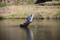 """Salmon at Salmon Lake Centre • <a style=""""font-size:0.8em;"""" href=""""http://www.flickr.com/photos/95060147@N06/13016612725/"""" target=""""_blank"""">View on Flickr</a>"""