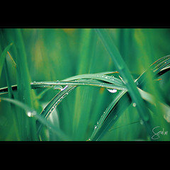 Growing in Silence (Soul101) Tags: macro green nature water grass drops bokeh dew nikond40 thatsclassy soul101 growinginsilence