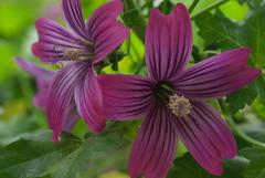 Purple Mallow (minorityreport) Tags: purple pentax diopter silkypix 43mm ranchosantaanabotanicgarden pentaxk10d lavaterpurisima