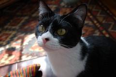 Katydid the helper (Aidylsock) Tags: cats pets katydid