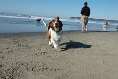 Happy Toula! (JolieVoice) Tags: dog beach water smile smiling fun sand nikon play d70 nikond70 joy hound basset bassethound toula bassetsnikond70