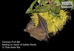 Common Fruit Bat feeding on nectar of Golden Penda flower. (kwokwai76) Tags: nectar goldenpenda chrysanthus xanthostemon cynopterus commonfruitbat