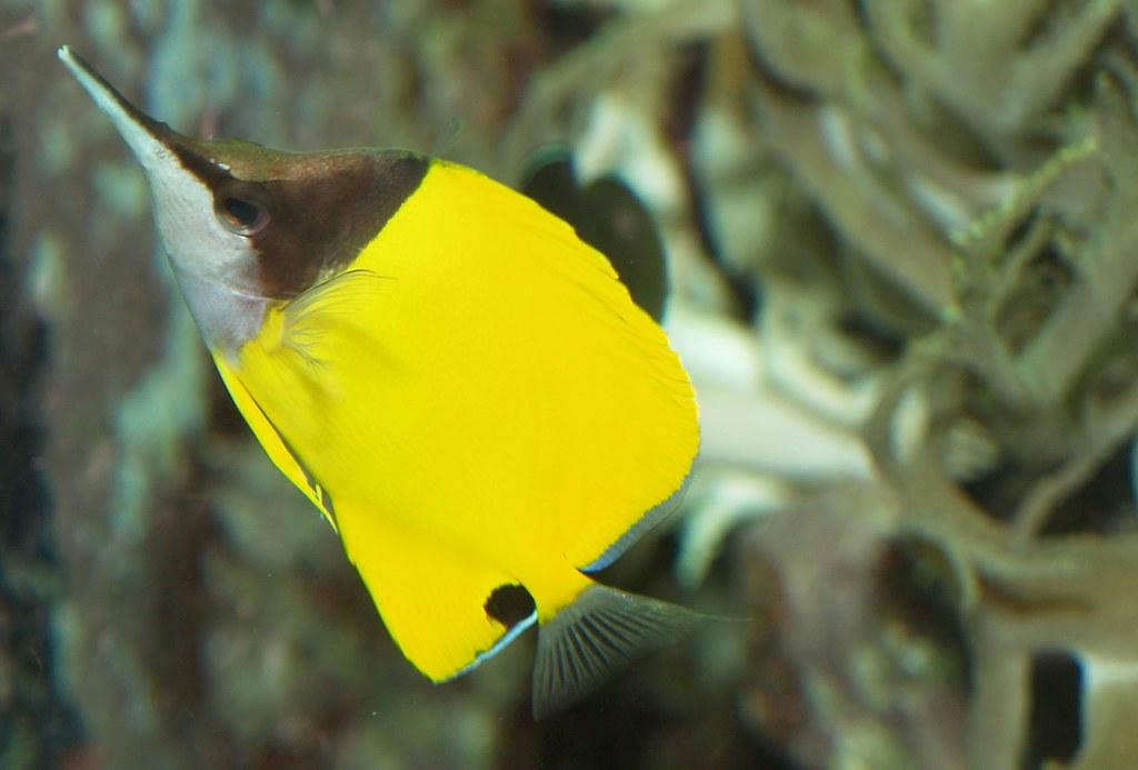 Punktierter Pinzettfisch