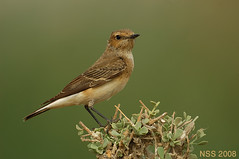 (N-S-S) Tags: bird birds nikon sigma kuwait  nasser 800mm  nss    vwc     nikoor    kvwc     alsolihem