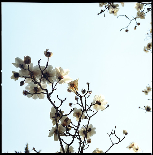 Poems And Quotes The White Magnolia Tree