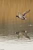 Mighty Duck - Le puissant Canard (Luc Deveault) Tags: wild canada bird animal duck pond eau quebec action reflet québec luc takeoff oiseau canard étang sauvage avianexcellence flyning deveault encvol lucdeveault