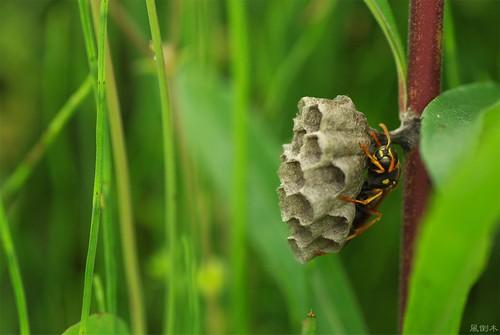 20080511フタモンアシナガバチ