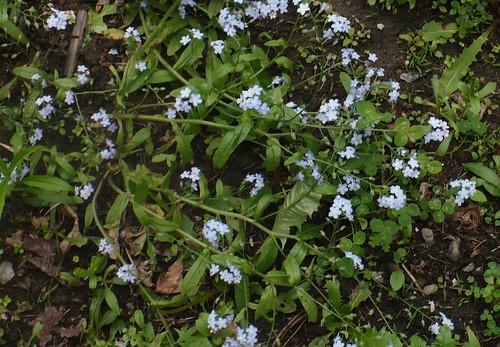 tiny blue wild flower