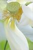 Lotus Flower - IMGP1352 Lotus Flower: White.