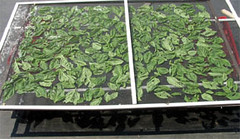 Basil drying in the sun