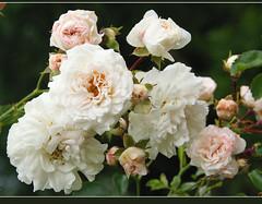 roses (atsjebosma) Tags: pink flowers roses green nature rose garden drops thenetherlands natuur raindrops buds tuin groningen wit rozen bloemen knoppen druppels naturesfinest regendruppels blueribbonwinner instantfave wehite bej mywinners ultimateshot overtheexcellence betterthangood