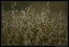 Pollen, Gräser, Allergie