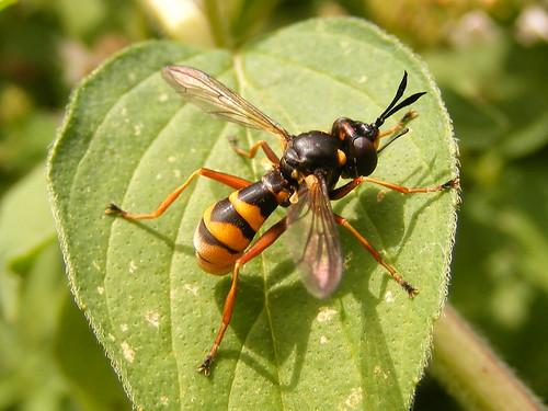 Wasp mimic : Conops Quadrifasciatus