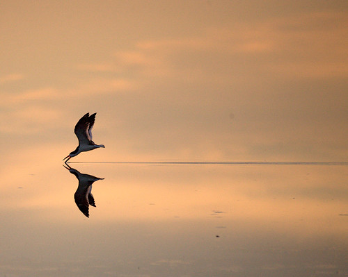 The Sky Skimmer ~ Endangered Black Skimmer