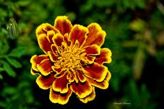 French Marigold (Swami Stream) Tags: flowers india flower canon rebel bangalore karnataka marigold frenchmarigold ulsoor xti swamistreamcom