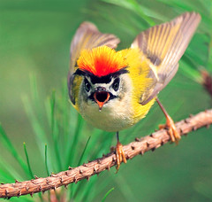 #306  (Firecrest Superman) (John&Fish) Tags: bird nature wow searchthebest taiwan best 2008 birdwatcher wonderworld naturescall  specanimal aplusphoto ishflickr happinessconservancy goldstaraward mylifeasahuman flickrblackpearl lesamisdupetitprince