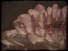 Too much time (Kirsten M Lentoft) Tags: dahlia flower macro textured bellissima artlibre momse2600 infinestyle texturebyghostbones thetempleofaphrodite kirstenmlentoft