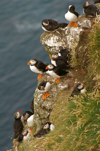 Faroe Islands - Puffins