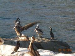 Aterrizando (On the SeaSide :)) Tags: chile mar aves ave chiringuito zapallar vuelo volando pelicano despegando aterrizando pelicanos